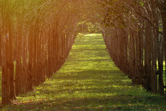 Alba di primo mattino della piantagione dell'albero di gomma con il raccolto bianco della linfa Fotografia Stock