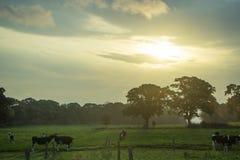 Alba e mucche Immagini Stock Libere da Diritti