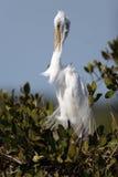 alba egret ardea большой Стоковое фото RF