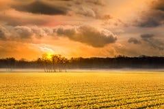 Alba gialla del campo del narciso Immagini Stock