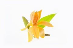 Alba jaune de Michelia d'isolement sur le blanc Photographie stock