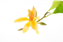 Alba jaune de Michelia d'isolement sur le blanc Photographie stock libre de droits