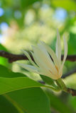 Alba magnolia Stock Afbeelding