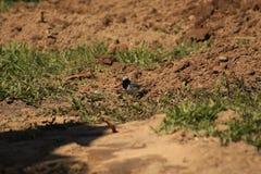 alba motacilla Arkivfoto