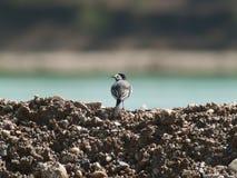 Alba Motacilla wagtail στο αμμοχάλικο στοκ φωτογραφία με δικαίωμα ελεύθερης χρήσης