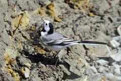 alba motacillawagtailwhite Fotografering för Bildbyråer