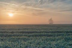 Alba nebbiosa sul campo di grano Fotografia Stock