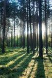 Alba nella foresta Fotografia Stock Libera da Diritti