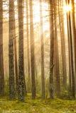 Alba nella foresta fotografia stock