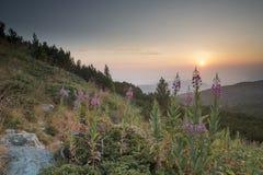 Alba nella montagna Fiori Immagini Stock