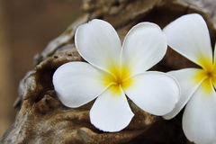 alba plumeria λουλουδιών Στοκ φωτογραφία με δικαίωμα ελεύθερης χρήσης