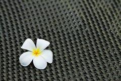 alba plumeria λουλουδιών Στοκ φωτογραφίες με δικαίωμα ελεύθερης χρήσης