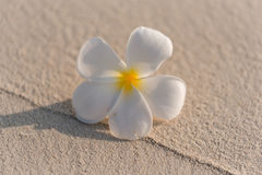 alba plumeria λουλουδιών Στοκ Φωτογραφία