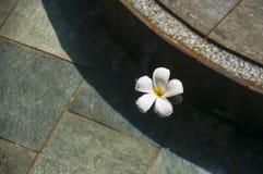 alba plumeria Το λουλούδι του Βούδα αυξάνεται στην Ασία Στο νερό Στοκ εικόνα με δικαίωμα ελεύθερης χρήσης
