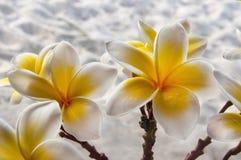 alba plumeria Το λουλούδι του Βούδα αυξάνεται στην Ασία Στοκ εικόνες με δικαίωμα ελεύθερης χρήσης