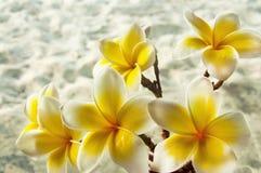 alba plumeria Το λουλούδι του Βούδα αυξάνεται στην Ασία Στοκ φωτογραφίες με δικαίωμα ελεύθερης χρήσης