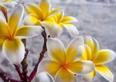 alba plumeria Το λουλούδι του Βούδα αυξάνεται στην Ασία Στοκ Εικόνες