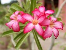 Alba rossa di rosso del fiore del frangipane Immagini Stock