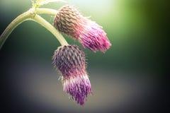 Alba stupefacente al prato di estate con i wildflowers Immagini Stock