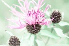 Alba stupefacente al prato di estate con il wildflower rosa del cardo selvatico di latte Immagine Stock