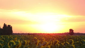 Alba su The Field con i girasoli Timelapse video d archivio
