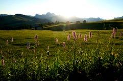 Alba sull'alpe nelle dolomia con i bei fiori/alp de siusi in valle di gardena Immagini Stock Libere da Diritti