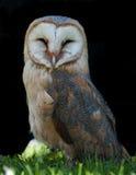 Alba Tyto ontspant Royalty-vrije Stock Foto's
