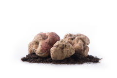 Alba white truffle. Tuber on isolated white background Royalty Free Stock Photo