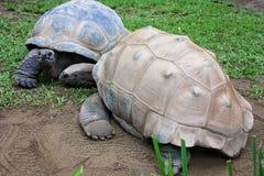Albabra tortoises Στοκ Εικόνες