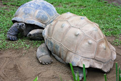 Albabra tortoises Stock Images