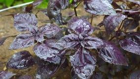 Albahaca con las hojas púrpuras en una cama del jardín en un invernadero metrajes