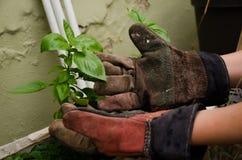Albahaca de la mano de la muchacha Foto de archivo libre de regalías