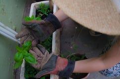 Albahaca de la mano de la muchacha Fotografía de archivo libre de regalías
