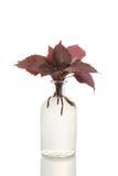 Albahaca en florero fotografía de archivo