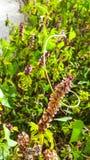 albahaca en mi jardín foto de archivo
