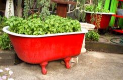Albahaca en una bañera roja Foto de archivo libre de regalías