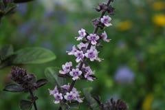 Albahaca floreciente foto de archivo