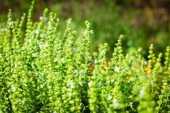 Albahaca floreciente en el jardín Foto de archivo libre de regalías