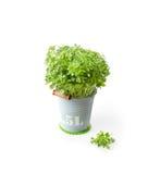 Albahaca fresca en cubo Imagen de archivo libre de regalías