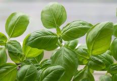 Albahaca fresca, verde Albahaca verde en un fondo ligero Parte posterior de la comida fotos de archivo libres de regalías