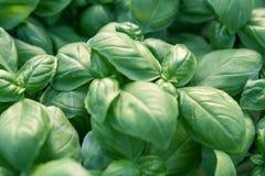Albahaca fresca Albahaca verde Fondo verde de la comida de la albahaca Mucho imagen de archivo