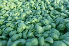 Albahaca fresca Albahaca verde Fondo verde de la comida de la albahaca Mucho fotografía de archivo