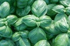 Albahaca fresca Albahaca verde Fondo verde de la comida de la albahaca Mucho fotografía de archivo libre de regalías