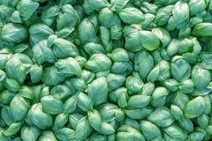 Albahaca fresca Albahaca verde Fondo verde de la comida de la albahaca Mucho foto de archivo libre de regalías