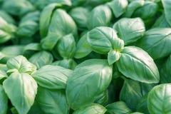 Albahaca fresca Albahaca verde Fondo verde de la comida de la albahaca Mucho imagen de archivo libre de regalías