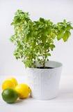 Albahaca griega fresca en crisol con los limones Fotografía de archivo
