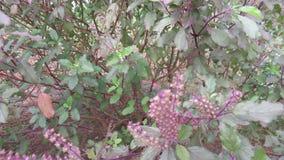 Albahaca medicinal la India del sur herbaria Imagen de archivo
