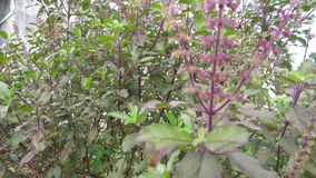 Albahaca medicinal la India del sur herbaria Fotos de archivo libres de regalías
