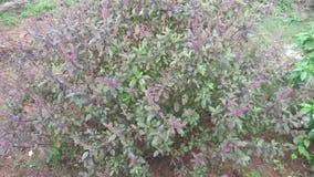 Albahaca medicinal la India del sur herbaria Fotos de archivo