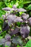 Albahaca púrpura foto de archivo libre de regalías